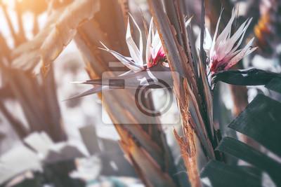 Strelitzia Nikolai blooming. Giant white bird of paradise plant with flowers. Wild banana. Gardening, landscaping design