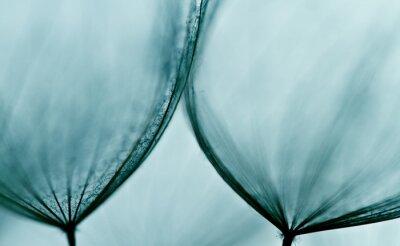 Fototapeta Streszczenie makro z nasion roślin z kropli wody. Big mniszek lekarski