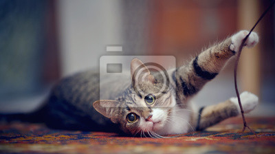 Fototapeta Striped cat with white paws, plays on a carpet