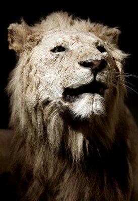 Fototapeta Stuffed lion in a museum