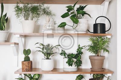 Fototapeta Stylish green plants and black watering can on wooden shelves. Modern hipster room decor. Cactus, asparagus , dracaena, epipremnum pothos, ivy, palm, sansevieria in pots on shelf.