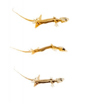 Fototapeta suche martwe jaszczurka na białym tle