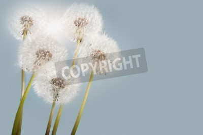 Fototapeta Sun flare behind a group of spring dandelions