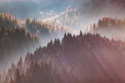 Fototapeta sun-rays through misty pine forest autumn nature background