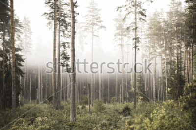 Fototapeta sun rising in mist covered forest. sun rays in fog with low visibility - vintage retro look