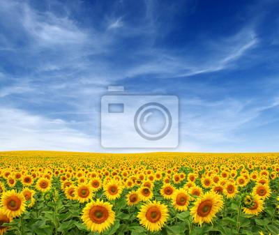 Sunflowers field on sky
