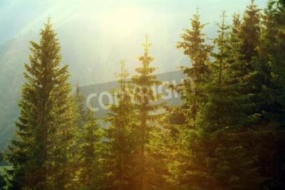 Fototapeta Sunlight w lesie świerkowym we mgle na tle gór, o zachodzie słońca