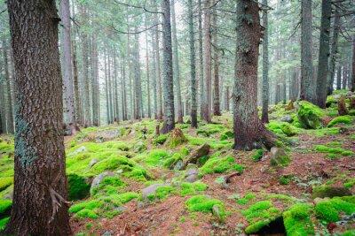 Fototapeta Sunlit lasu świerkowego