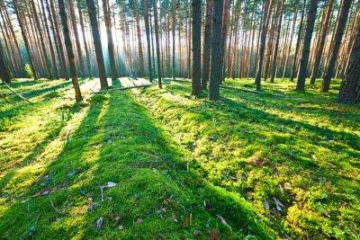 Fototapeta Sunrise w lesie sosnowym