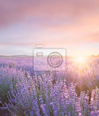 Fototapeta Sunset sky over a summer lavender field. Sunset over a violet lavender field in Provence, France.