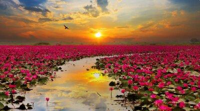Fototapeta Sunshine rośnie kwiat lotosu w Tajlandii