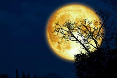 Fototapeta Super sturgeon moon and silhouette dry branch tree in the dark night sky