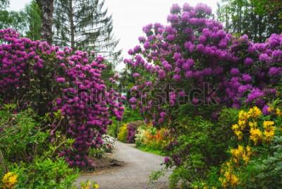 Fototapeta Surrealistyczny park ze ścieżką otoczoną galaktyką różnokolorowych rododendronów. Wydaje się, że fioletowe gromady konkurują z sąsiednimi drzewami na wysokości. Rzeczywiście magiczna kraina czarów