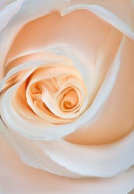 Fototapeta Światło Rose kwiat makro ilustracja