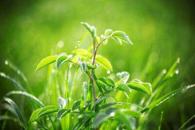Fototapeta Świeża zieleń trawy z kroplami wody