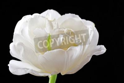 Fototapeta Świeże biały tulipan na czarnym tle