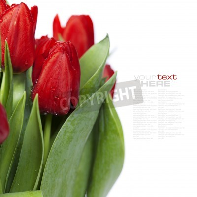 Fototapeta świeże czerwone tulipany na białym tle