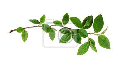 Fototapeta Świeże gałęzie liści