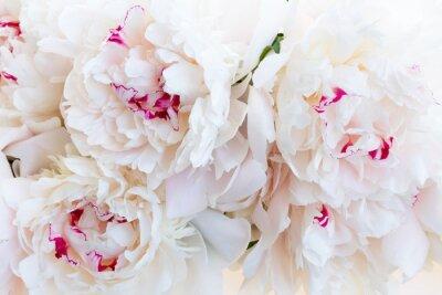 Fototapeta Świeże kwiaty piwonii