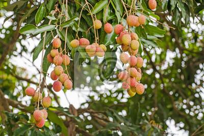 Fototapeta świeże liczi na drzewie