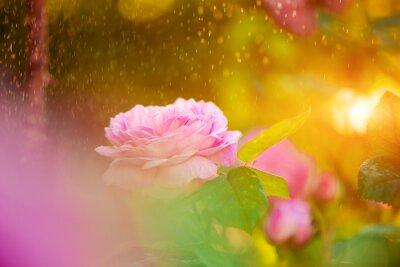 Fototapeta Świeże różowy krzak róży w letnim świetle słońca