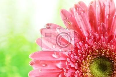 Świeże różowy kwiat z krople wody