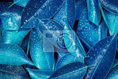Fototapeta Świeże tropikalnych liści niebieskich liści