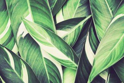 Fototapeta Świeże tropikalnych Liści tła