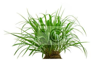 Świeże wiosny zielona trawa samodzielnie na białym tle.