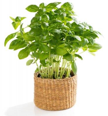 Fototapeta Świeże zioła bazylia