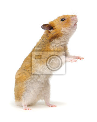 Syrian hamster standing on its hind legs isolated on white