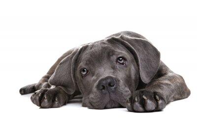 Fototapeta szary cane corso puppy pies