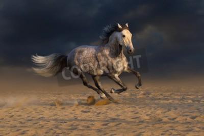 Fototapeta Szary koń andaluzyjski prowadzony galop kurzem pustyni