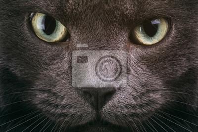Fototapeta Szary Kot Zbliżenie Twarzy Z Zielonymi Oczami Kot