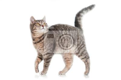 Fototapeta Szary pręgowany kot na białym