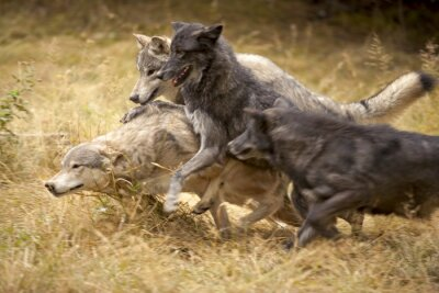 Fototapeta Szary w grę Wolf Pack