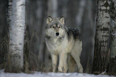 Fototapeta Szary Wilk, Canis lupus