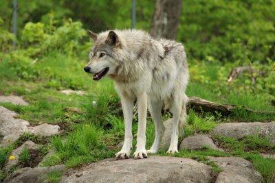 Fototapeta Szary wilk stojący na skale w środowisku leśnym