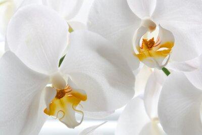 Fototapeta Szczegóły dwóch kwiatów orchidei.