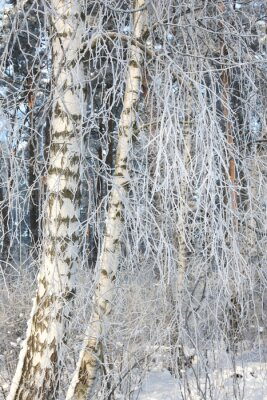 Fototapeta Szczegóły śniegiem brzozy