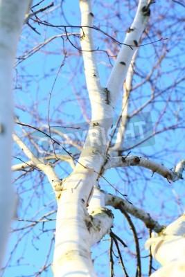 Fototapeta Szczegóły strzał z drzewa brzozowego srebrny z niebieskim tle nieba