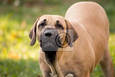Fototapeta Szczeniak Fila Brasileiro (Brazilian Mastiff)
