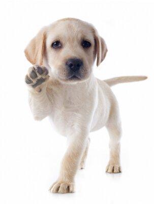 Fototapeta szczeniak labrador retriever