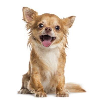 Fototapeta Szczęśliwy Chihuahua (4 lata)
