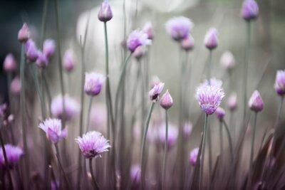 Fototapeta Szczypiorek kwitnący wyobrażenie wiosny i zapachu świeżych kwiatów