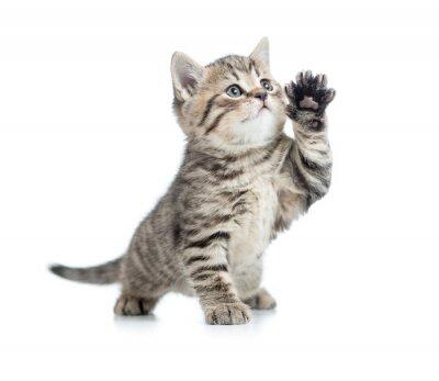 Fototapeta Szkocka pręgowany kotek daje łapę i patrząc w górę