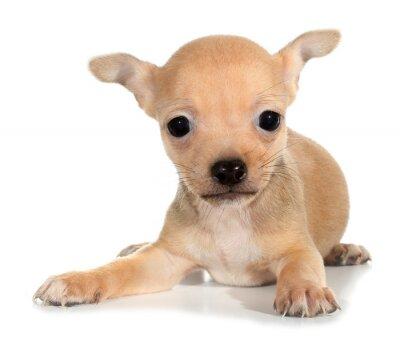 Fototapeta Tan pies szczenię chihuahua