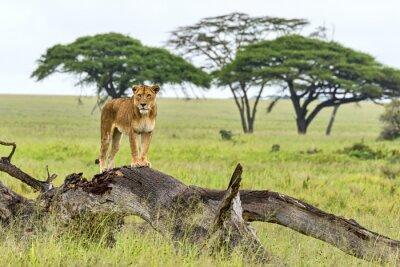 Fototapeta Tanzania Lion 15354