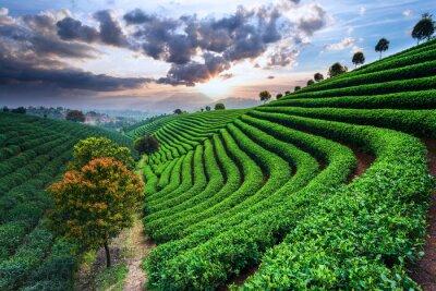 Fototapeta Tea Plantations under sky
