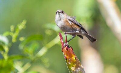Fototapeta tec-tec, ptak owadożerca endémique de la Réunion